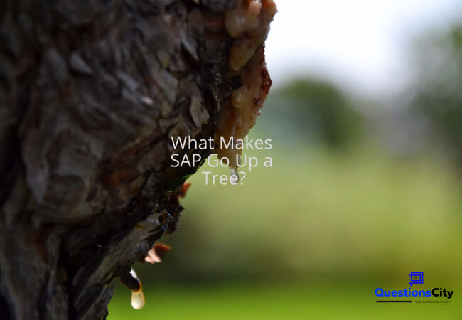 What Makes SAP Go Up a Tree?