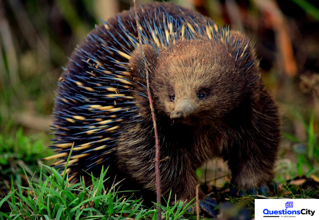 What Is An Echidna