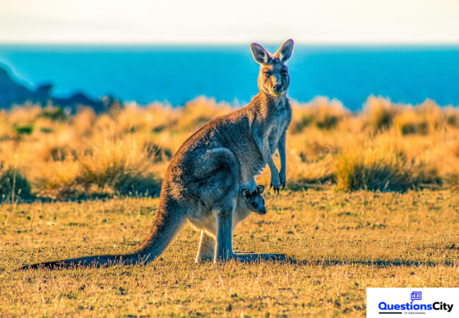 Why Were Kangaroos Found Only In Australia