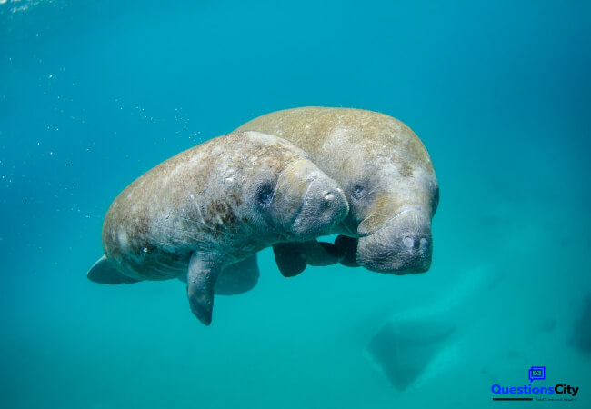 What Is A Manatee
