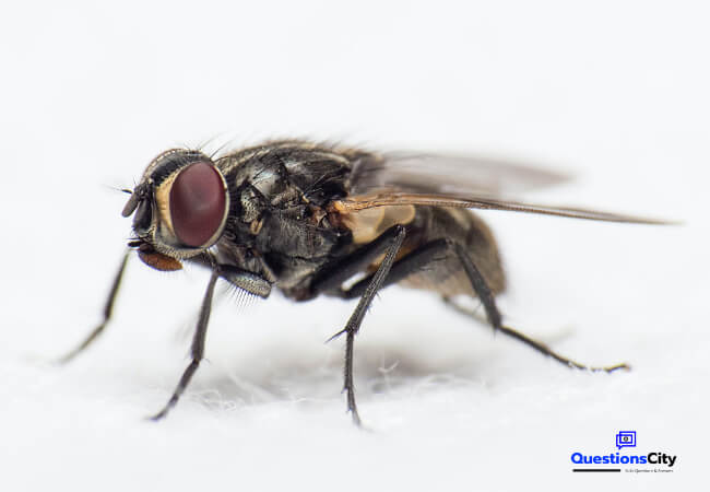 What Does A Fly Eat