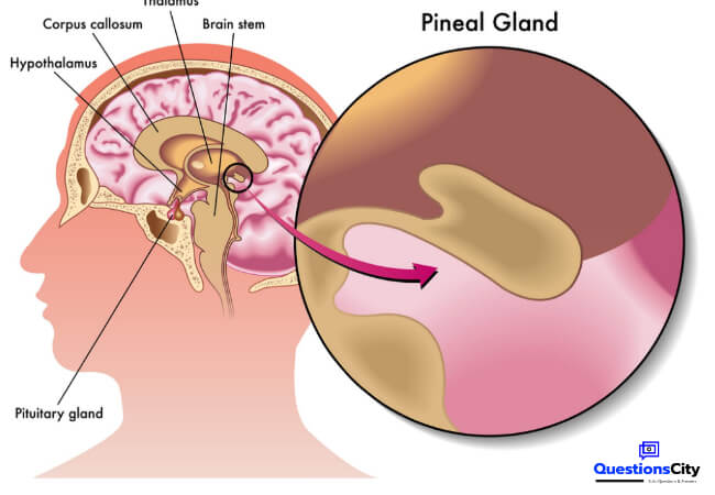 What Is The Pineal Gland