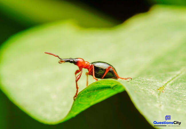 What Is A Weevil